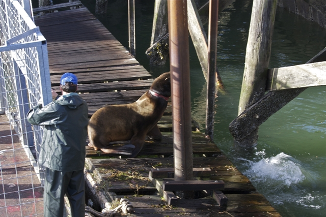 Sea Lion freed from disentangle cage