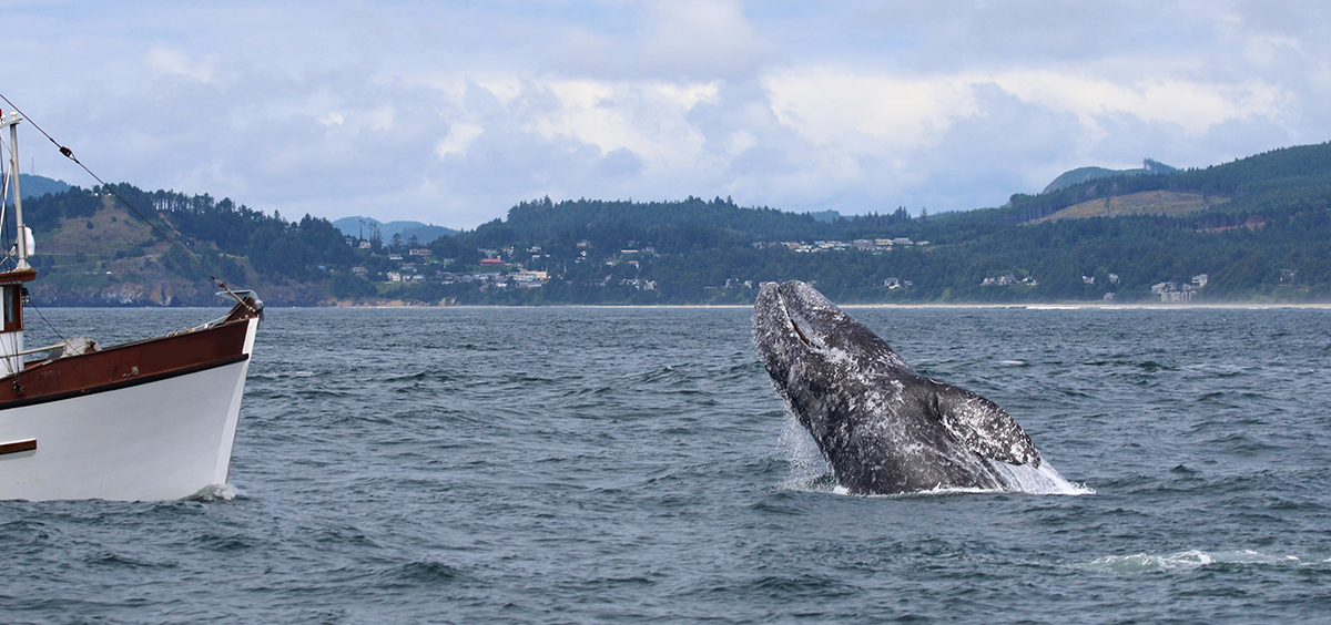 A gray whale breaches in front of a fishing vessel outside the Newport harbor entrance
