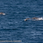 Spinner dolphins at the Costa Rica Dome