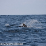 Short-finned pilot whale at the Costa Rica Dome