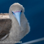 Red-footed booby at the Costa Rica Dome