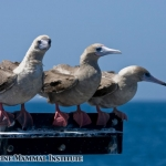 Red-footed boobies catching a ride on the Research Vessel Pacific Storm at the Costa Rica Dome