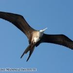 Magnificent frigate bird at the Costa Rica Dome