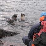 Juvenile New Zealand sea lions (Phocarctos hookeri) on Enderby Island