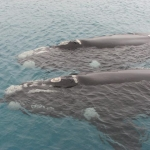 Pair of Southern Right whales (Eubalaena australis) swimming together - Auckland Islands 2007