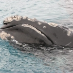 Close up of southern right whale (Eubalaena australis) sticking it's head up out of the water - Auckland Islands 2007