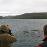 Southern right whales swimming at a distance - Port Ross - Auckland Islands