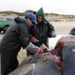 Sperm Whale Ear Extraction