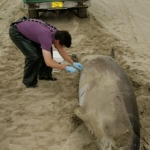Sampling a Cuvier's Beaked Whale