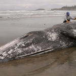Sampling a Dead Gray Whale
