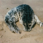 Newborn Harbor Seal Pup Curled Up on Beach