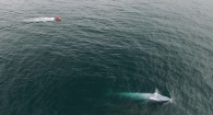 A New Zealand blue whale dwarfs the size of the GEMM Lab research boat (Image taken by drone conducted by Todd Chandler)