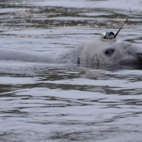Habitat Use Patterns of New Zealand Sea Lions, Southern Elephant Seals, and Great White Sharks