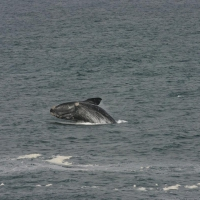 Population and Ecology of Southern Right Whales - Campbell Island