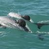 Dolphin pair swimming