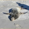 Sea Lion Laying on Beach Sick with Leptospirosis