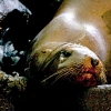 Stranding sea lion laying head down in exhaustion